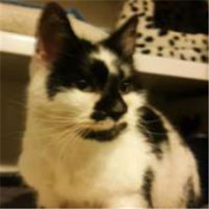 This Is Domino A 16 Year Old Black White Short Haired Female