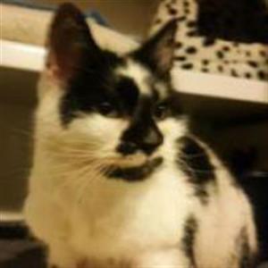 Domino Ready For Adoption Cat Adoption Cats Glasgow