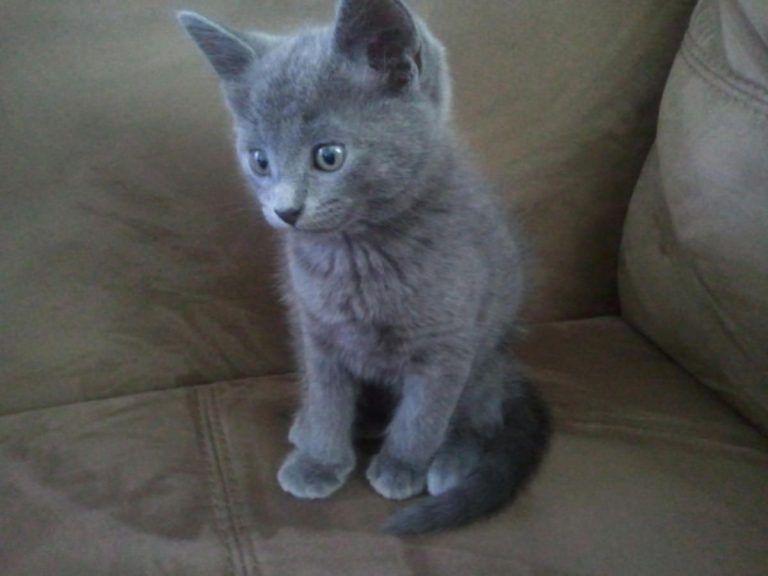 Russian Blue Kittens For Sale Russian Blue Kitten Russian Blue Blue Cats