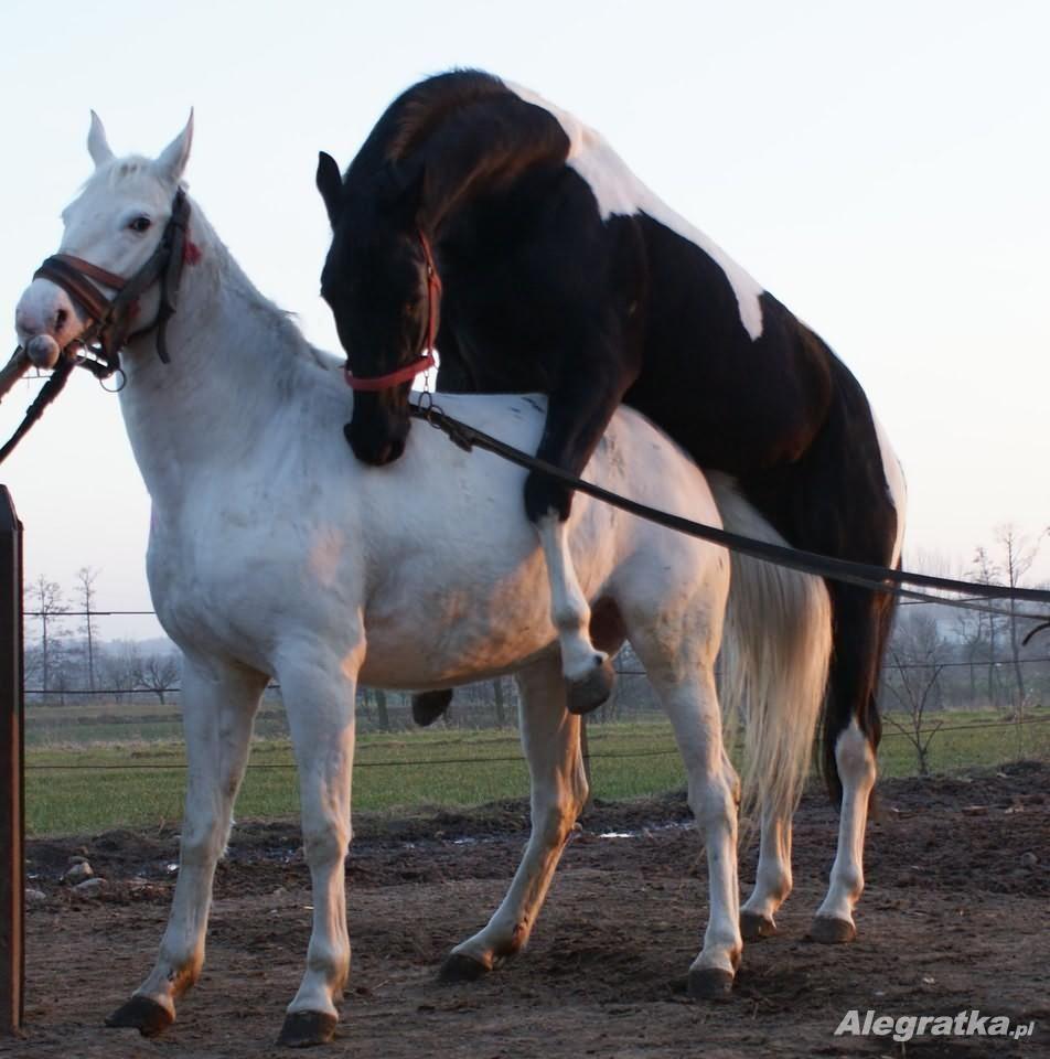 40000 Pln Stanówka Karostokaty Ogier Igor Rasa Polski Koń