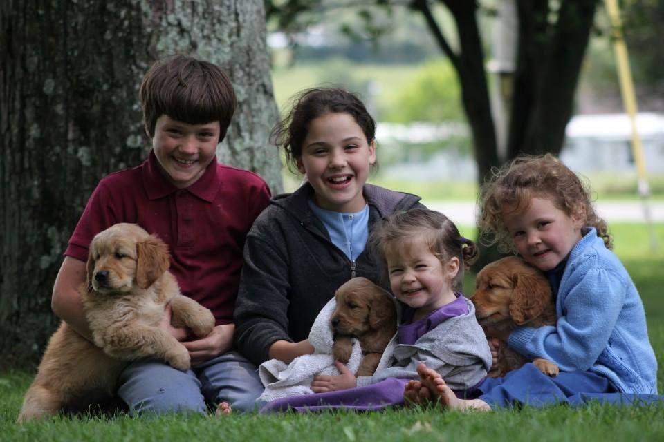 Golden doodle golden retriever puppies for sale in