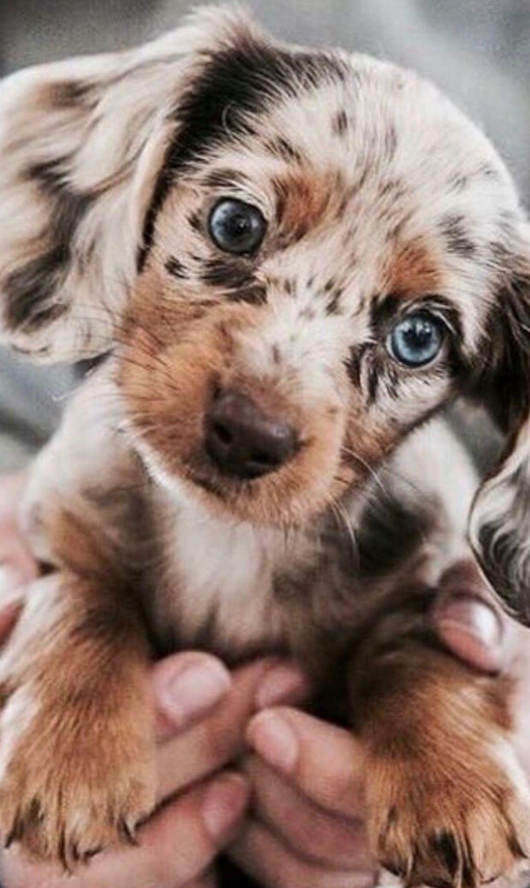 German Australian Shepherd Hundebabys Babyhunde Tiere