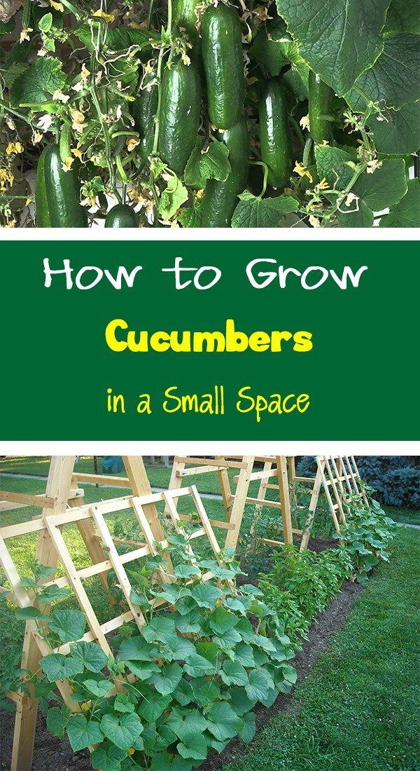 Growing Cucumbers Vertically Home Vegetable Garden 400 x 300