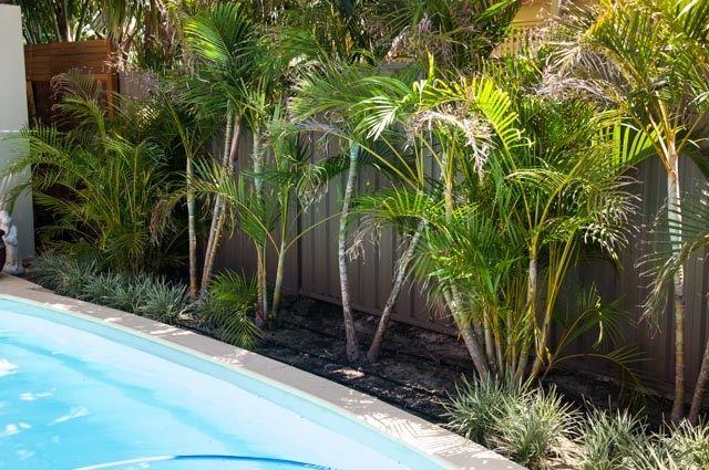 Established Golden Cane Palm Garden Ideas Tropical Garden Plants Pool Landscaping