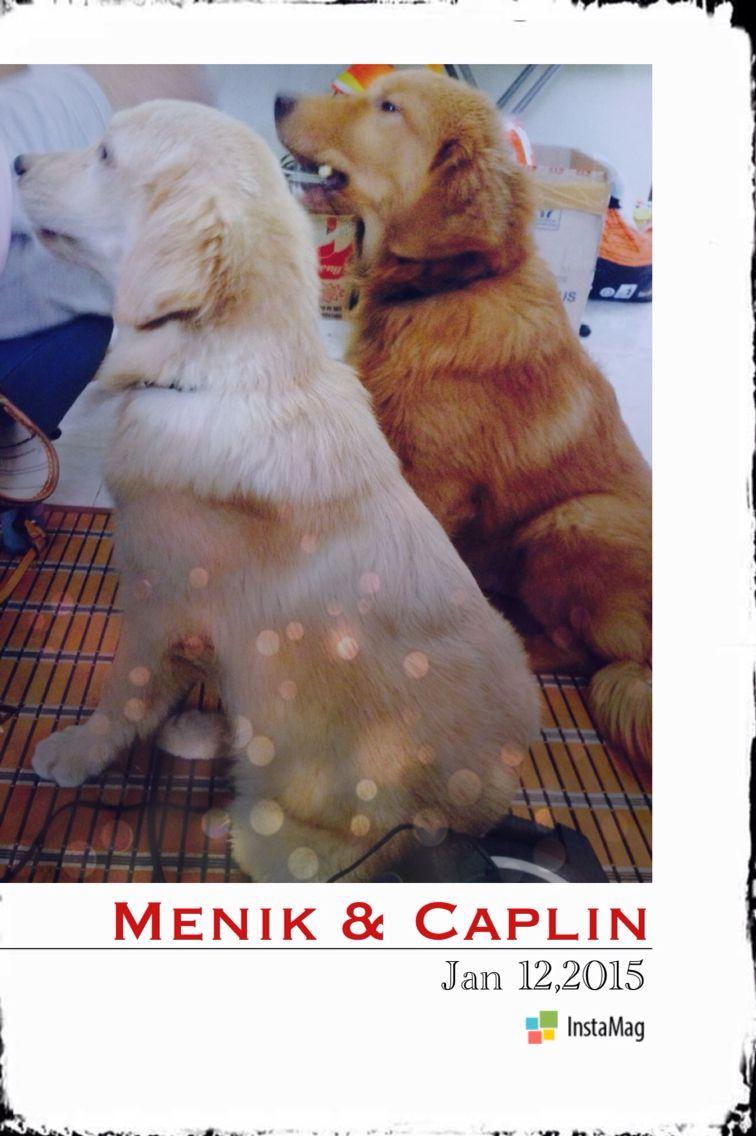 Waiting for their snacks .... Menik & Caplin #goldenretriever #doglovers #theyarepartofourlife
