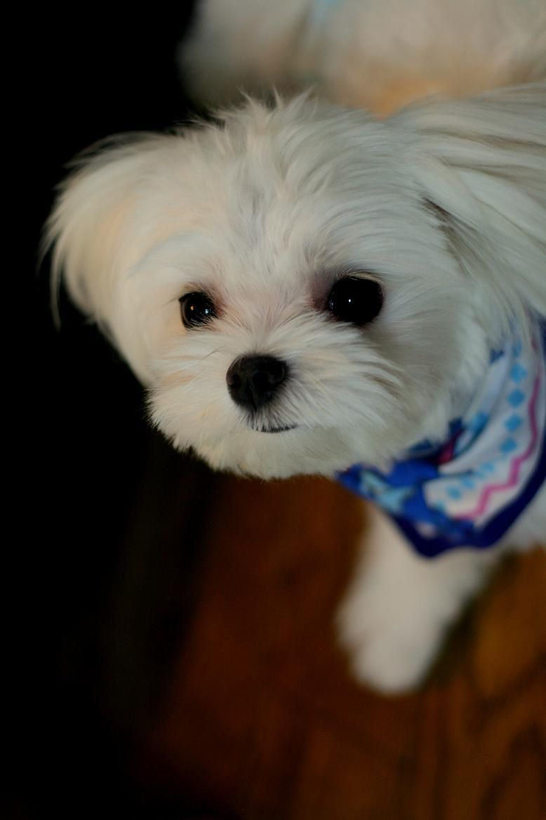 Maltese Looks Like Gracie Maltese Dogs Puppies Maltese Puppy