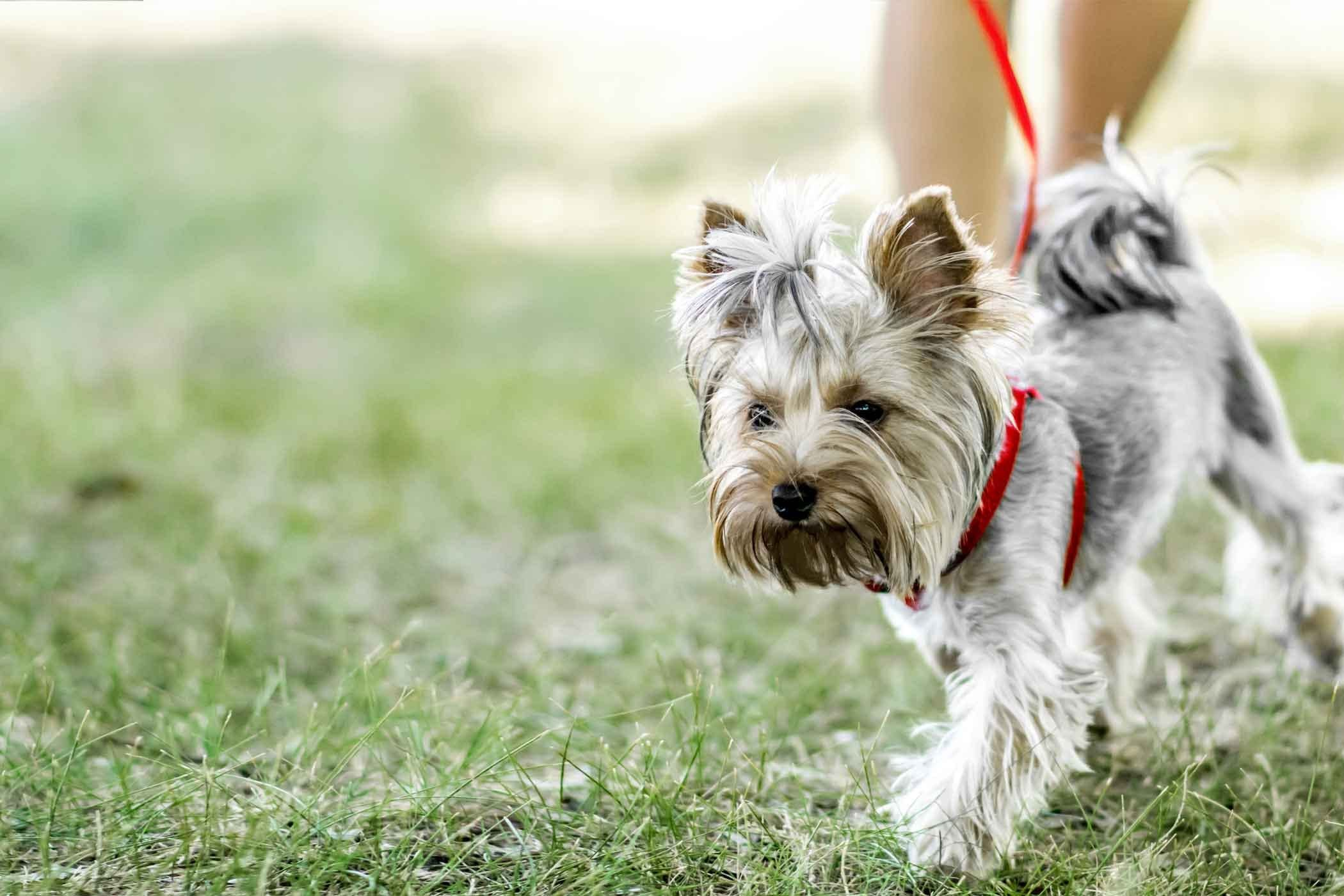 How to train your older dog to walk calmly on leash dog