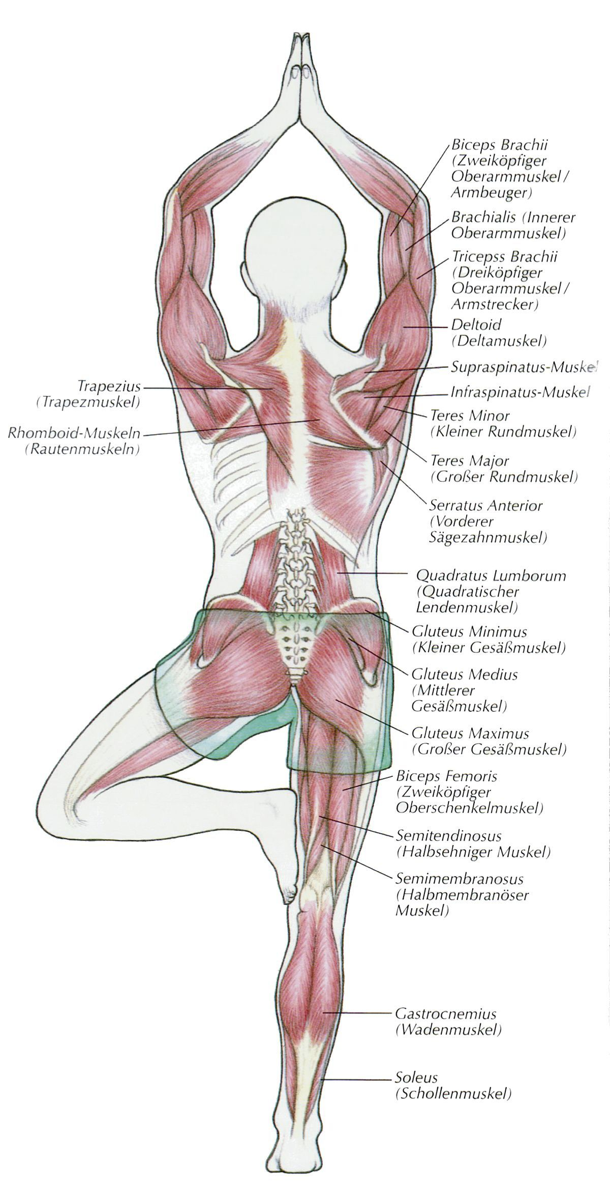 ૐ YOGA ૐ Vrkasana - El Árbol ૐ Yoga positions | Anatomia ...