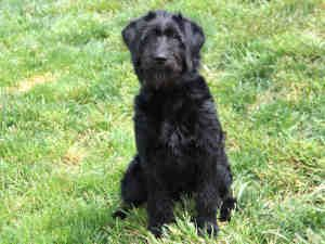 Lizzie Is An Adoptable Giant Schnauzer Dog In Maryland Heights Mo Goldendoodle Black Goldendoodle Dogs