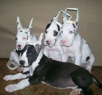 Harlequin Great Dane Puppies Hoobly Harlequin And Mantle Great