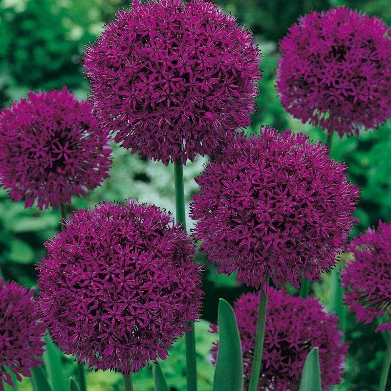 Allium Purple Sensation Graines de fleurs, Bulbe fleur