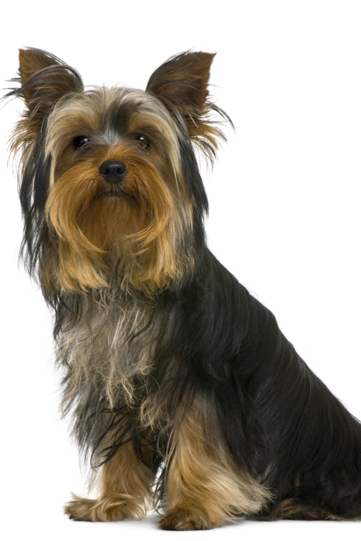 Yorkshire Terrier 7 Months Old In Front Of White Background Yorkshireterrier Terrier Yorkshire Terrier Yorkie Lovers