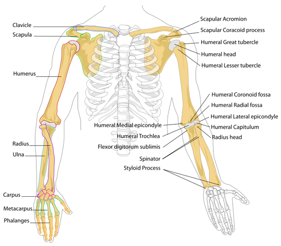 harley davidson full dresser motorcycle diagram axial joints diagram | skeletal system | skeleton bones ... full body joint diagram #14