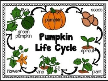 pumpkin life life cycle and investigation kit for kinder saisons. Black Bedroom Furniture Sets. Home Design Ideas