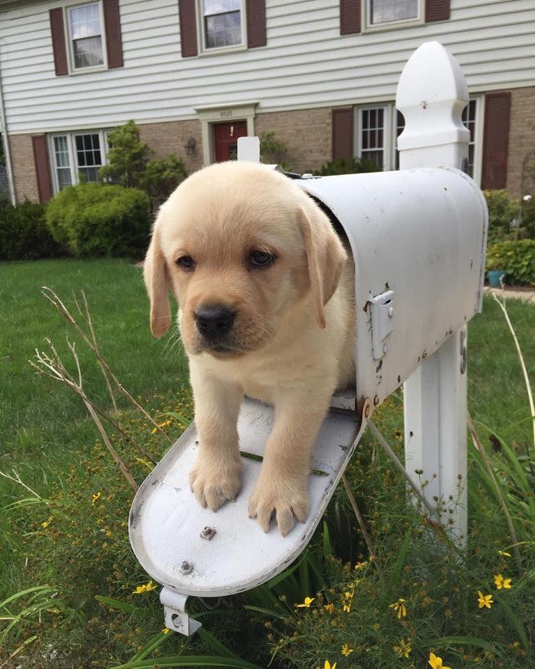 Special Delivery Instagram Rangerandnelson Labrador