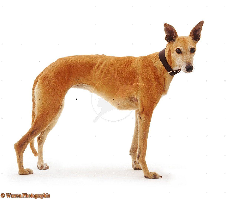 Pin On My Dream Dog The Greyhound Xxxx