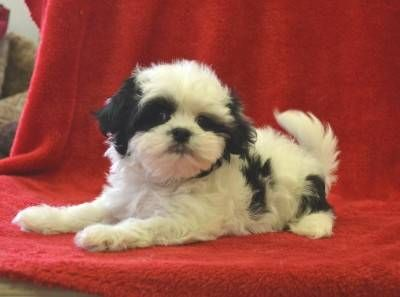 Adorable Tiny Little Maltese Shih Tzu Mix Fur Kids Cute Dogs And