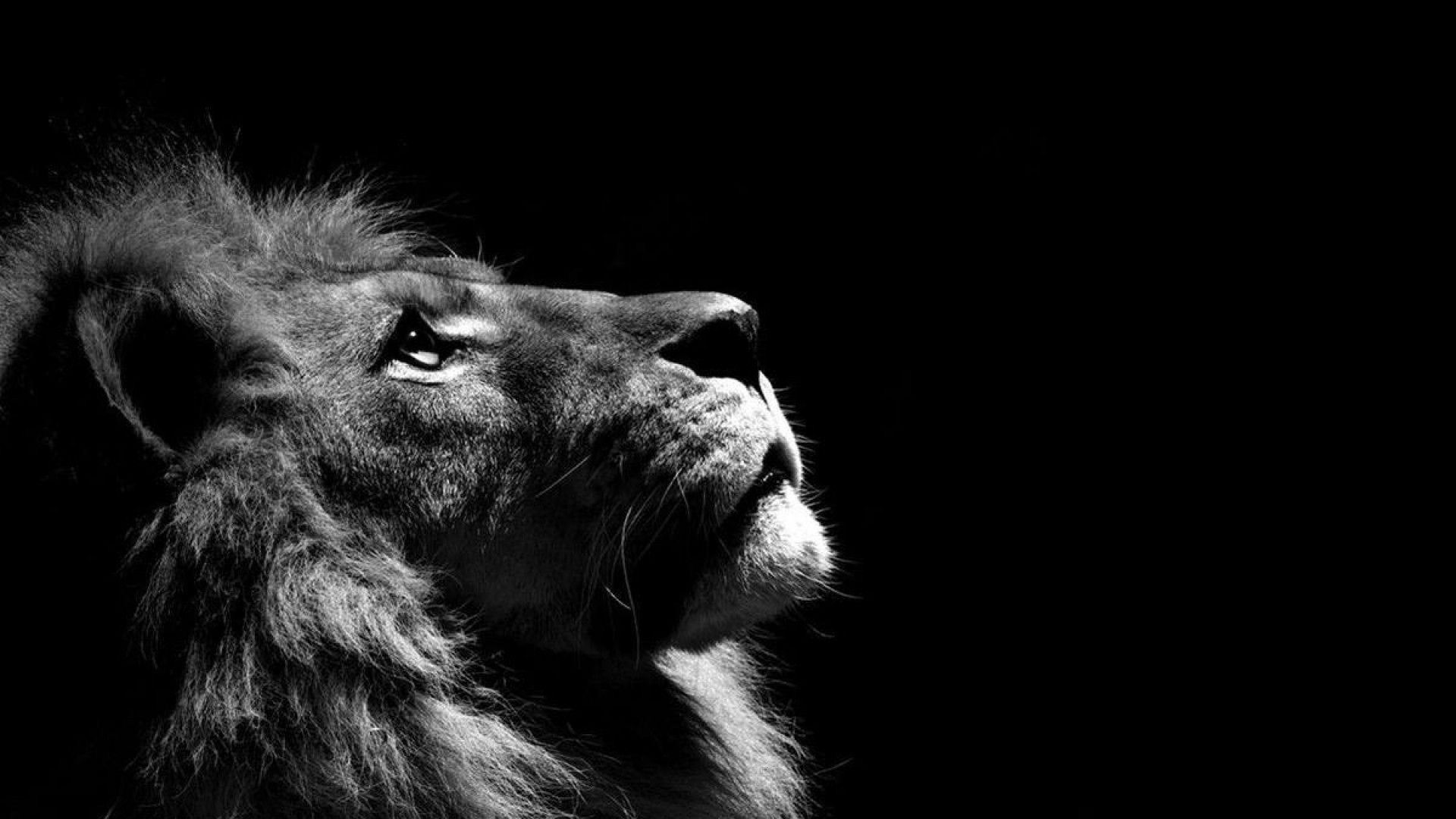 Male Lion Background Hd Wallpaper Background Hd Wallpaper Lion Wallpaper Lion Pictures