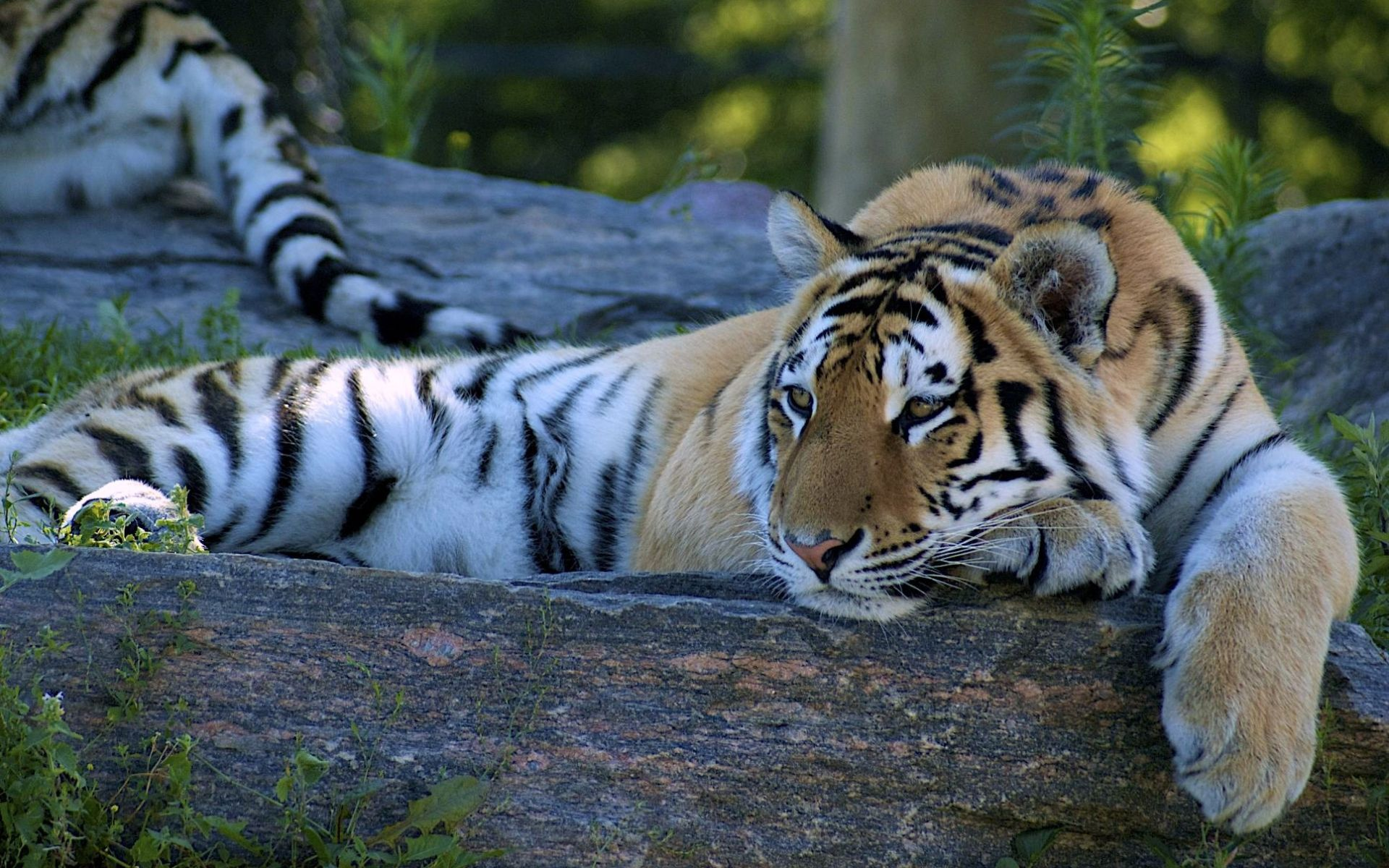 animal - tiger wallpaper | tigres | pinterest | tiger wallpaper