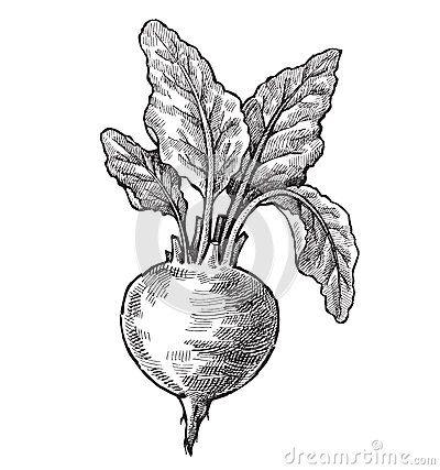Vintage Beet Drawing Hand Drawn Beet Vector Black Ink Ideas