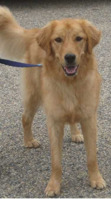 Grateful Golden Retriever Rescue Charleston Sc Area Golden