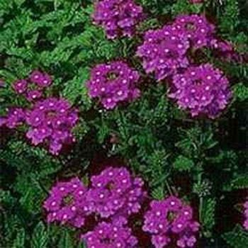 Verbena Seeds Moss Verbena Ground Cover Seed Purple Flowers Garden Flower Seeds Verbena