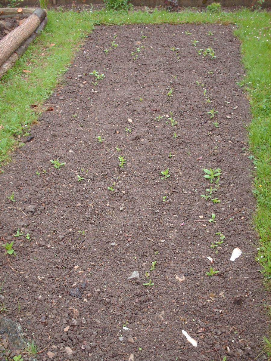 Topinambur Gartenbob De Der Garten Ratgeber Topinambur Pflanzen Topinambur Und Unkraut Entfernen