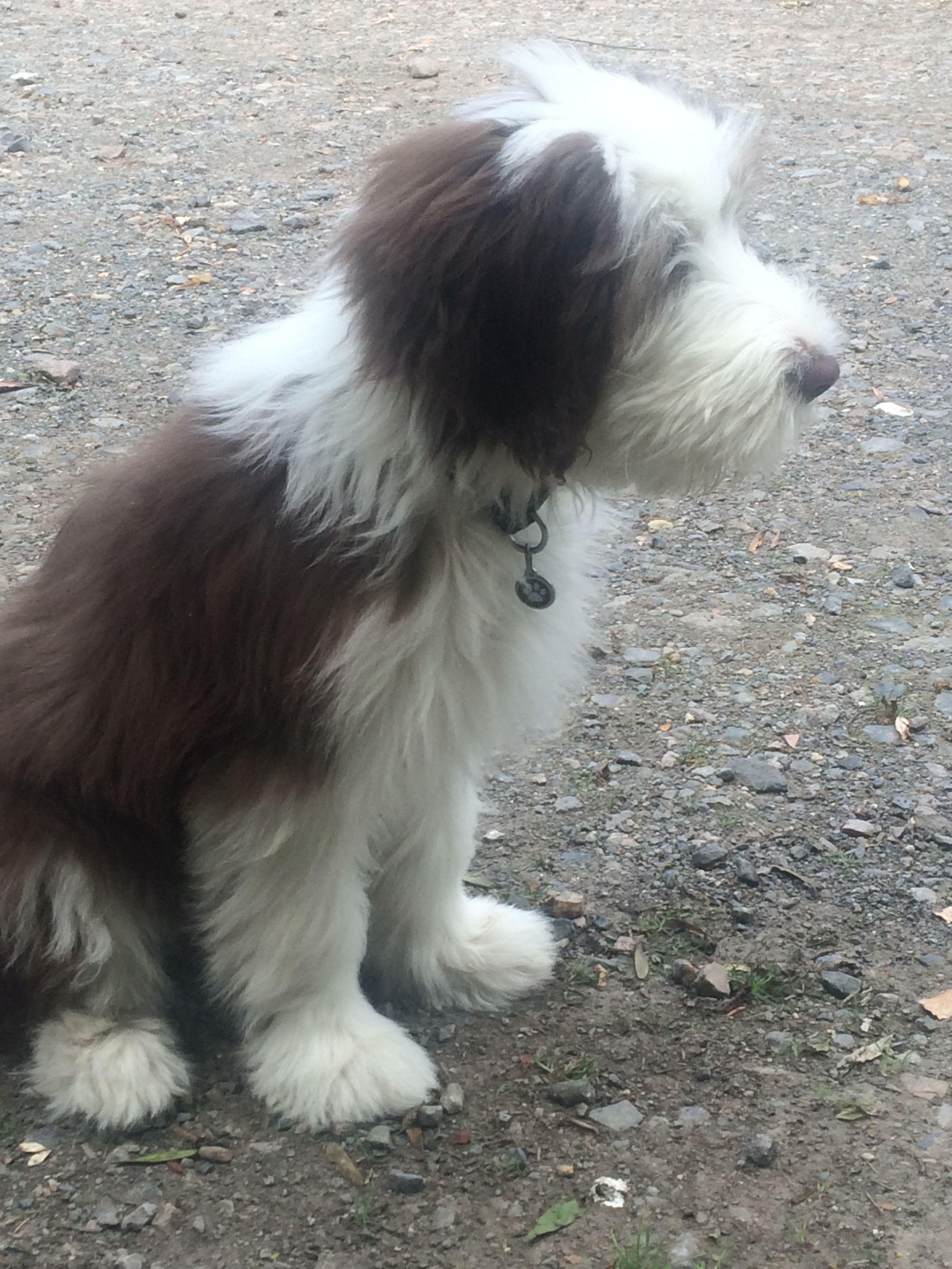 My beautiful Beardie !   Bearded collie puppies, Collie ...
