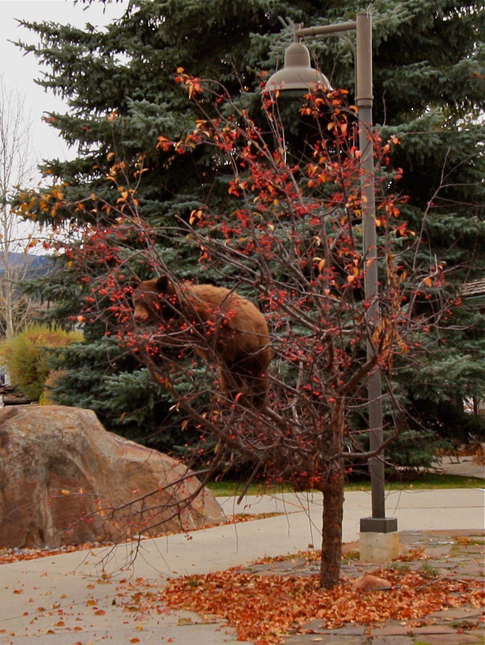 Little cinnamon bear hanging around Meadow Village!   Photo credit: Casey Drayton