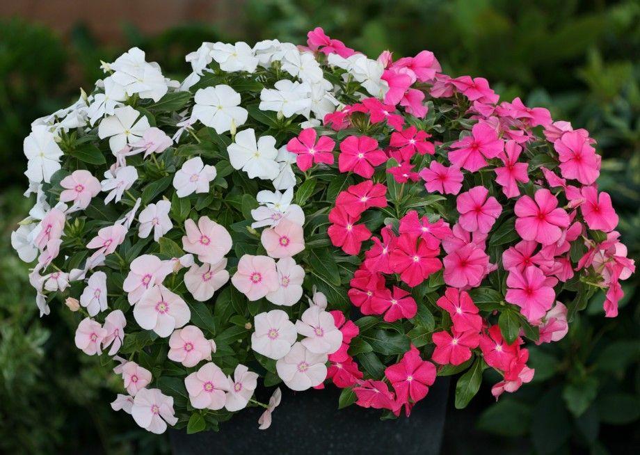 Vinca Boa Mixed Wp Jpg 920 654 Vinca Flowers Flower Garden