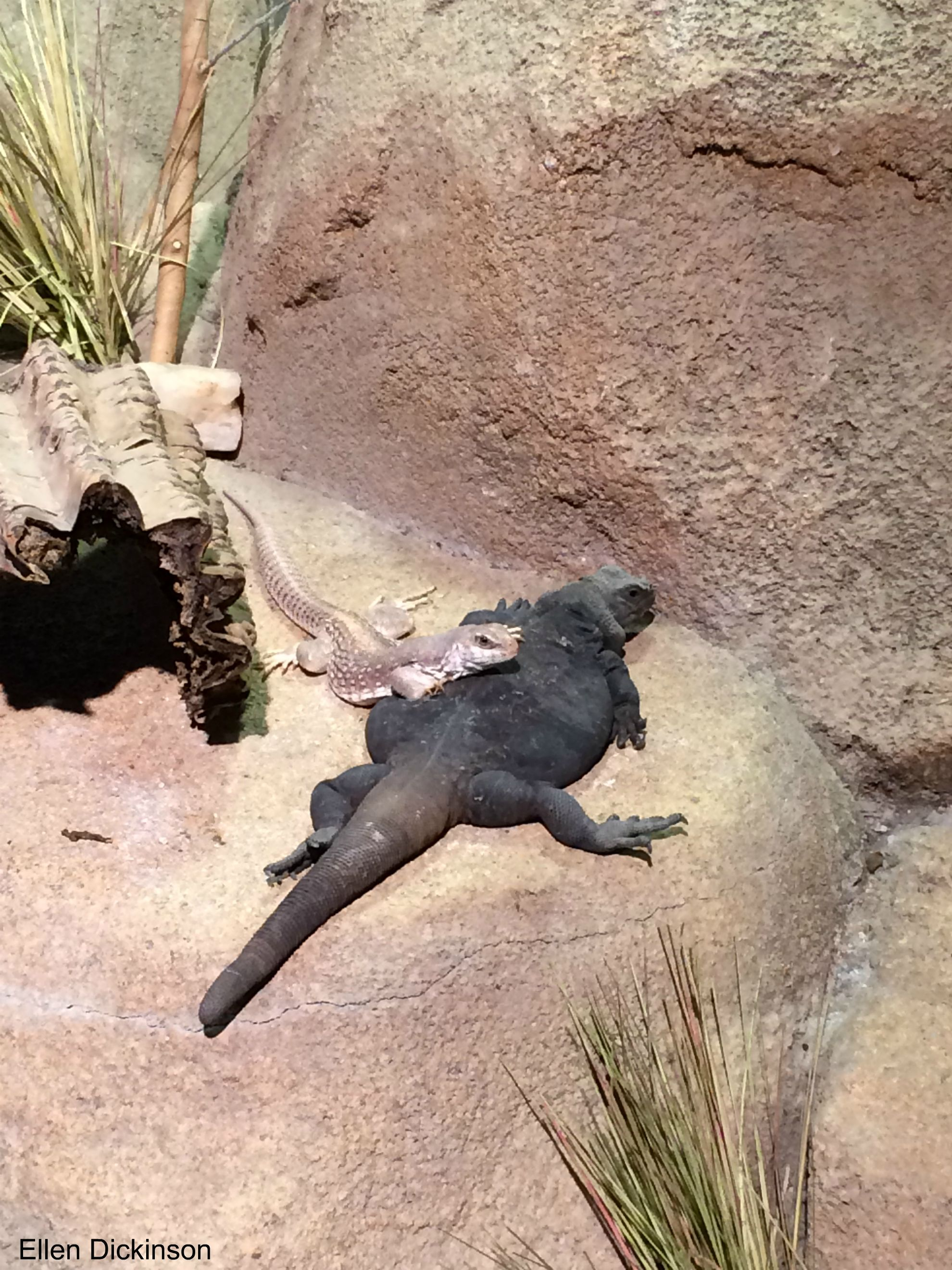 Chuckwallas And Desert Iguanas Can Be Found In Southern