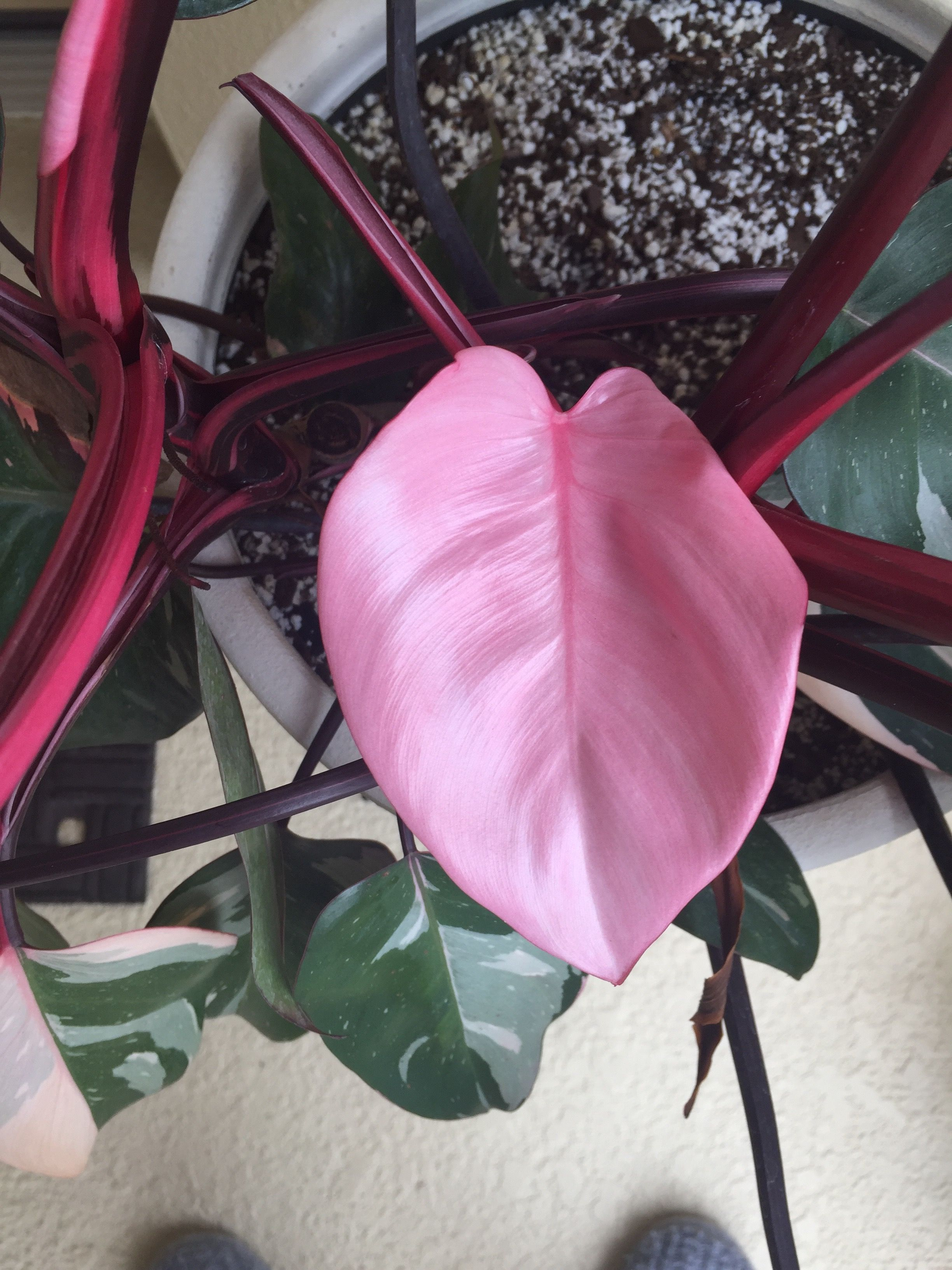 Pink princess philodendron my plants pinterest plants flowers pink princess philodendron mightylinksfo