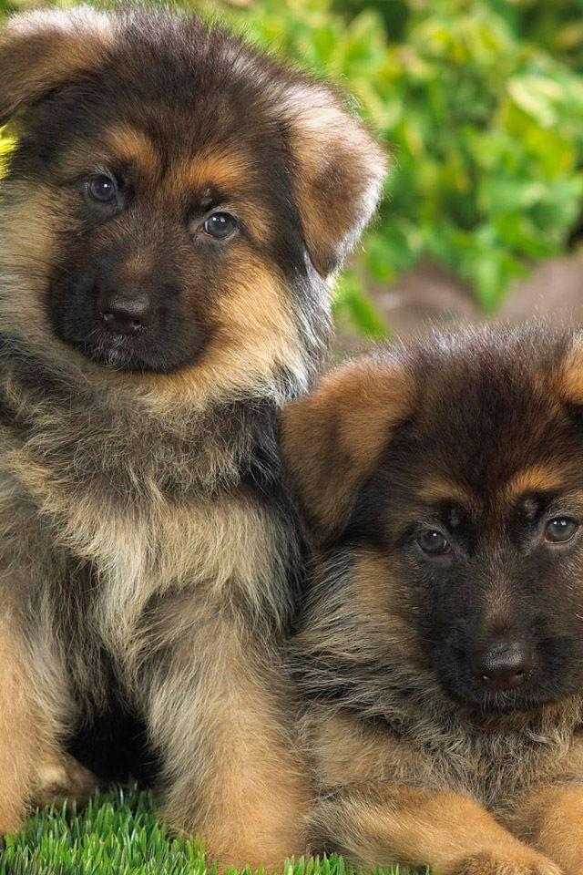 German Shepherds! (mit Bildern) Hunde, Schäferhunde