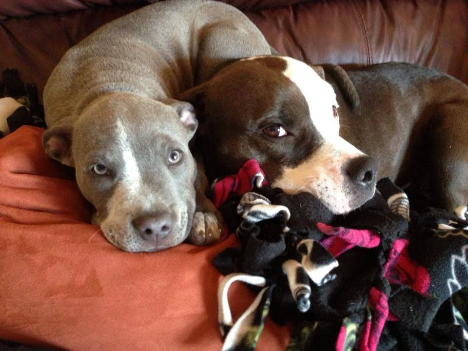 Two Pit Bulls Laying Right Next To Each Other Pets Pitbulls