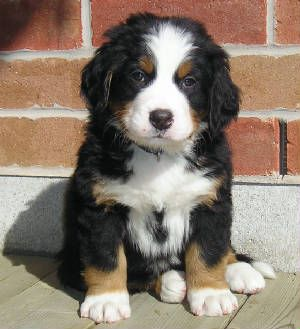 Labernese Possibly The Cutest Puppy Known To Mankind Puppies