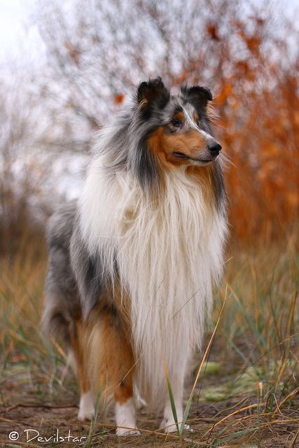 Silver By Devilstar Rough Collie I Am Such A Sucker For Blue