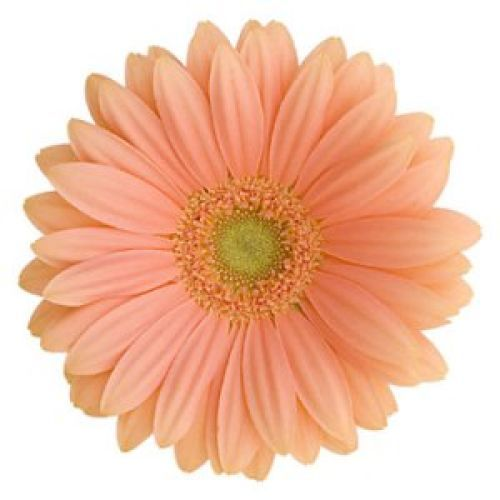 Color Daisies: Peach Flowers, Flowers
