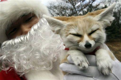 Dear Santa all I want is a little fox http://ift.tt/2hbArwb