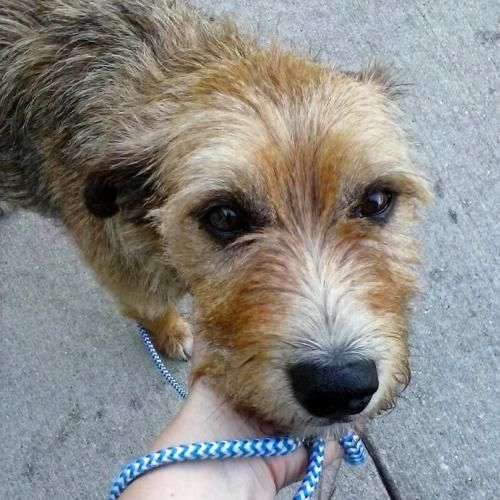 Adopt Benji On Border Terrier Dogs Terrier Mix Dogs