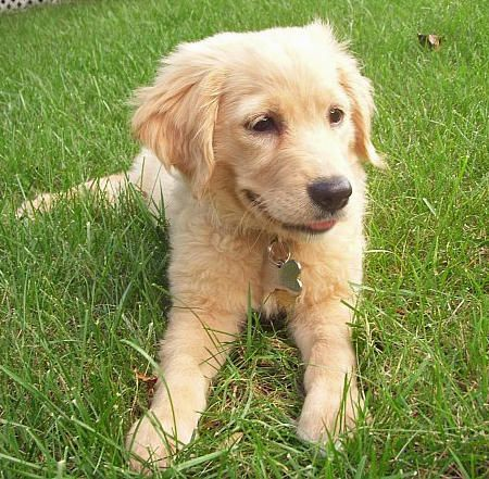 Golden Retrievers Have A Special Place In My Heart 3 Golden