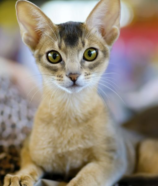 10 Abyssinian Cat Facts Avec Images Chat Abyssin Abyssin Felin