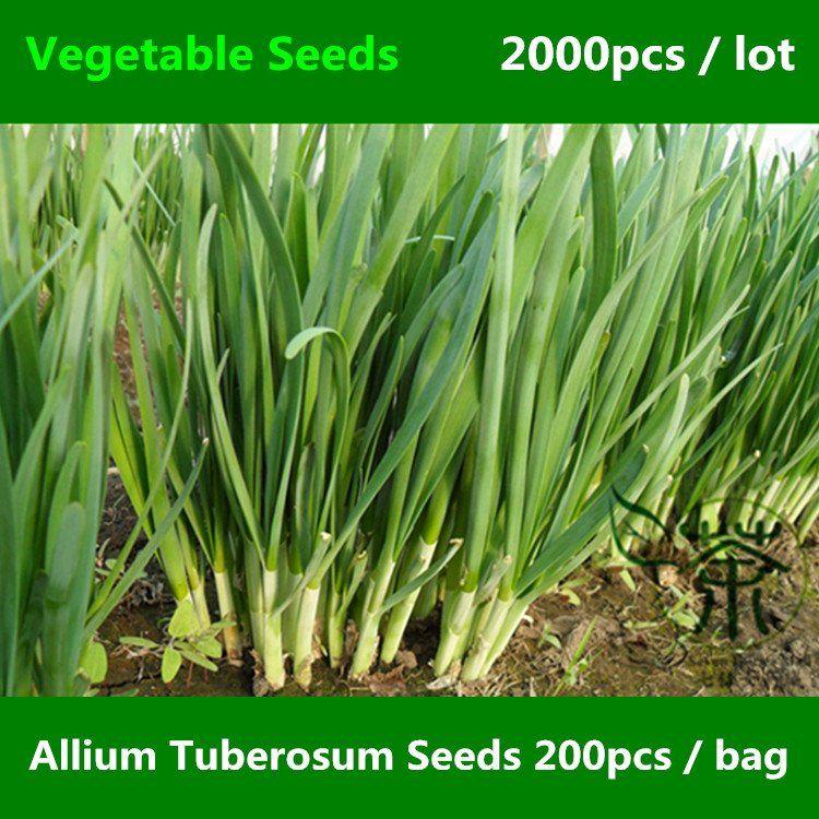 Allium Tuberosum Seeds 2000pcs Garlic Chives Vegetable Seeds Chinese Leek Oriental Garlic Garlic Chives Chives Plant Vegetable Seed