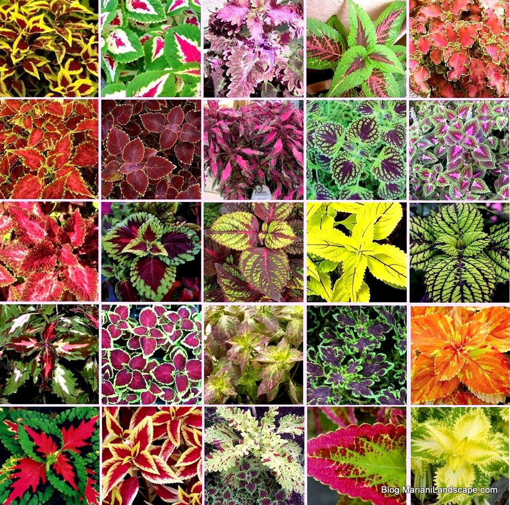 Coleus Cultivars One Of The Five Summer Annuals With Colorful Foliage Featured At In The Garden