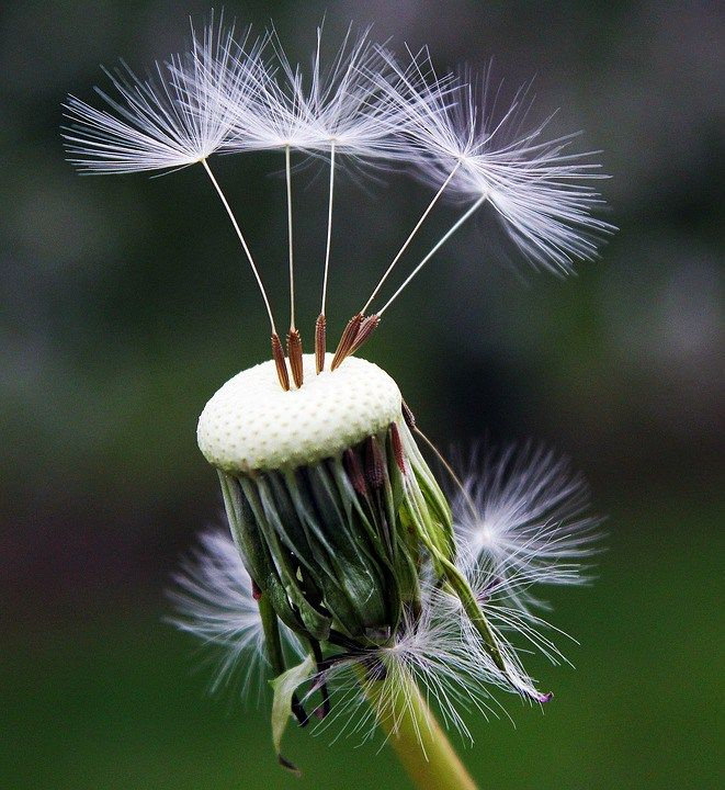 Dandelion Christianity Plant Photography Dandelion Seed Nature Photography Flowers