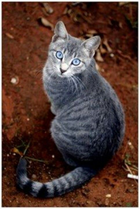 Purrfect Grey Tabby Cats Warrior Cats Warrior Cats Rpg
