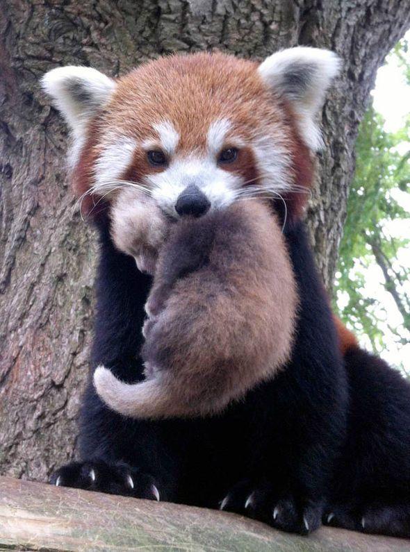 with big penises pandas