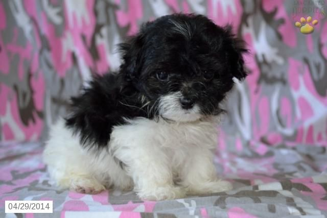 Maltipoo Puppy For Sale In Indiana Maltipoo Puppies For Sale