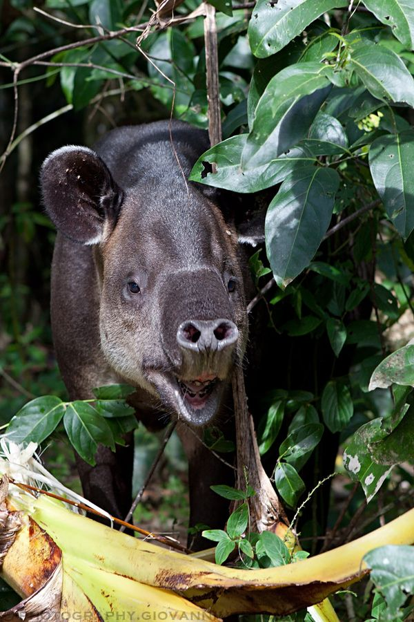 Baird's Tapir Costa Rica South america animals, Tapir