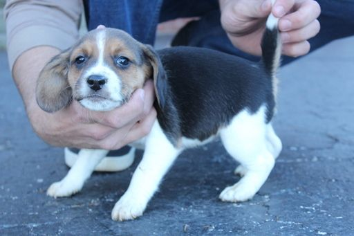Litter Of 7 Beagle Puppies For Sale In Monroe City In Adn 53315