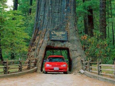 Chandelier Tree, California, USA | Wanderlust | Pinterest ...
